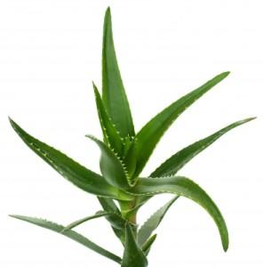 Aloe jako lék