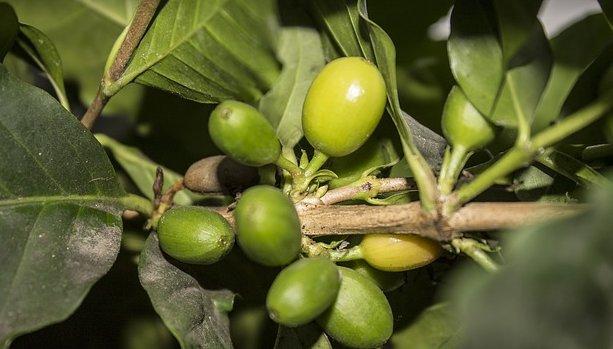 zelena kava a hubnuti